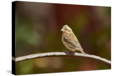 Purple Finch-Gary Carter-Stretched Canvas Print