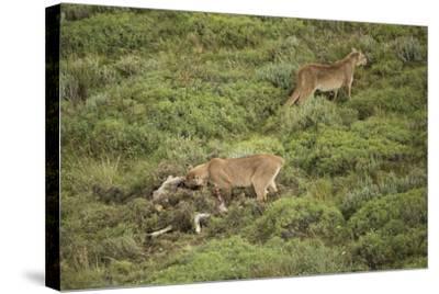 Wild Puma in Chile-Joe McDonald-Stretched Canvas Print