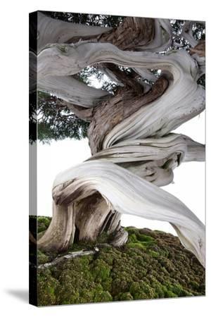 Bonsai Juniper-Fabio Petroni-Stretched Canvas Print