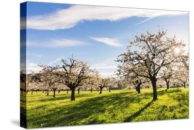 Cherry Orchard in Bloom-Frank Lukasseck-Stretched Canvas Print
