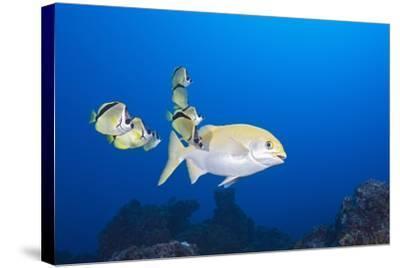 Barberfish (Johnrandallia Nigrirostris) Cleaning Yellow Sea Chub (Kyphosus Lutescens)-Reinhard Dirscherl-Stretched Canvas Print