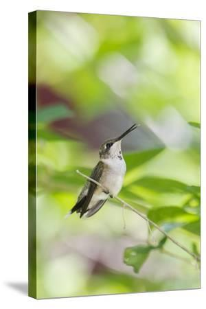 Ruby-Throated Hummingbird-Gary Carter-Stretched Canvas Print