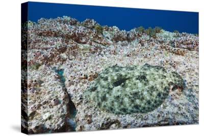 Pacific Leopard Flounder Camouflaged (Bothus Leopardinus)-Reinhard Dirscherl-Stretched Canvas Print
