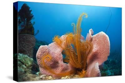 Sponge and Crinoid on a Coral Reef-Reinhard Dirscherl-Stretched Canvas Print