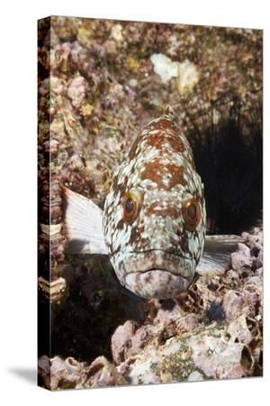 Starry Grouper (Epinephelus Labriformis)-Reinhard Dirscherl-Stretched Canvas Print