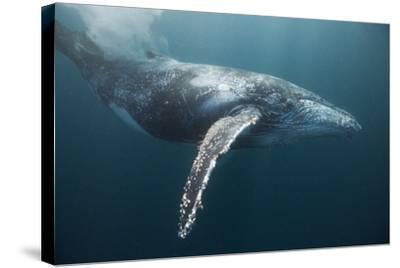 Humpback Whale (Megaptera Novaeangliae)-Reinhard Dirscherl-Stretched Canvas Print