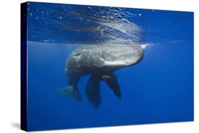 Sperm Whales (Physeter Macrocephalus)-Reinhard Dirscherl-Stretched Canvas Print
