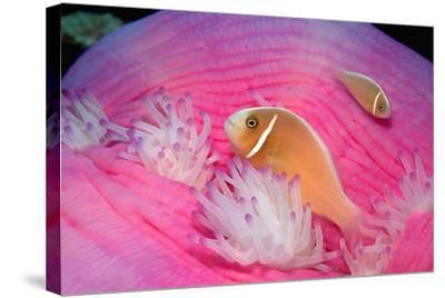 Pink Anemonefishes in a Sea Anemone (Amphiprion Perideraion), Pacific Ocean.-Reinhard Dirscherl-Stretched Canvas Print
