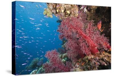 Fiji Coral Reef-Reinhard Dirscherl-Stretched Canvas Print