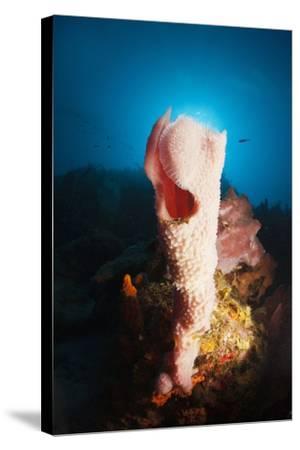 Tube Sponge on a Coral Reef-Reinhard Dirscherl-Stretched Canvas Print