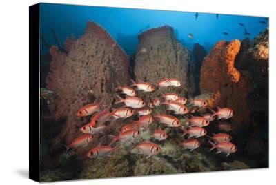 Soldierfish on Coral Reef-Reinhard Dirscherl-Stretched Canvas Print