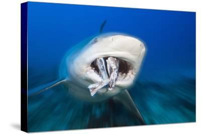 Bull Shark Feeding (Carcharhinus Leucas), Beqa Lagoon, Viti Levu, Fiji-Reinhard Dirscherl-Stretched Canvas Print