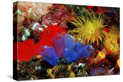 Blue Sea Squirts or Tunicates (Dendrophillia) and Yellow Cave Coral (Tubastrea)-Reinhard Dirscherl-Stretched Canvas Print