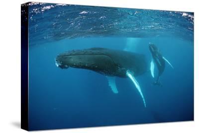 Humpback Whale-Reinhard Dirscherl-Stretched Canvas Print