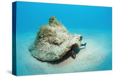 Conch Active on the Sandy Ocean Floor (Strombus Gigas), Bahamas, Atlantic Ocean.\R\N-Reinhard Dirscherl-Stretched Canvas Print
