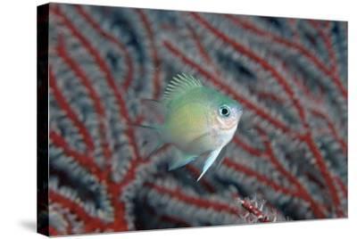 Spiny Chromis (Acanthochromis Polycanthus)-Reinhard Dirscherl-Stretched Canvas Print