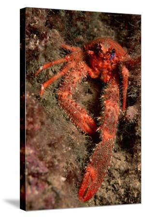 Crab (Galathea Strigosa).-Reinhard Dirscherl-Stretched Canvas Print