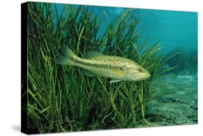 Largemouth Bass, Micropterus Salmoides, Usa, Florida, FL-Reinhard Dirscherl-Stretched Canvas Print