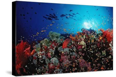 Coral Grouper and Reef, Cephalopholis Miniata, Sudan, Africa, Red Sea-Reinhard Dirscherl-Stretched Canvas Print