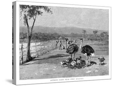 Ostrich Farm Near Port Augusta, South Australia, 1886-Frank P Mahony-Stretched Canvas Print