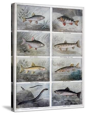 Freshwater Fish, 1897-F Meaulle-Stretched Canvas Print