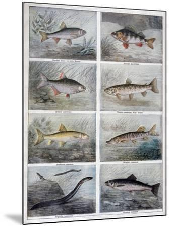 Freshwater Fish, 1897-F Meaulle-Mounted Giclee Print