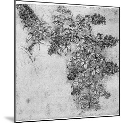 Study of a Blackberry Branch, Late 15th or Early 16th Century-Leonardo da Vinci-Mounted Giclee Print