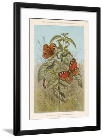 Metamorphoses of the Peacock Butterfly, 1888-Thomas Brown-Framed Giclee Print