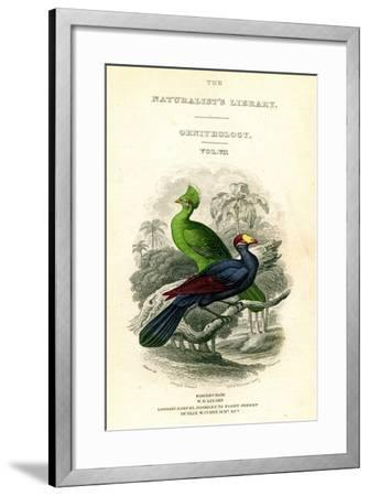 The Naturalist's Library, Ornithology, Senegal Touraco, Violet Plantain Eater, C1833-1865-William Home Lizars-Framed Giclee Print