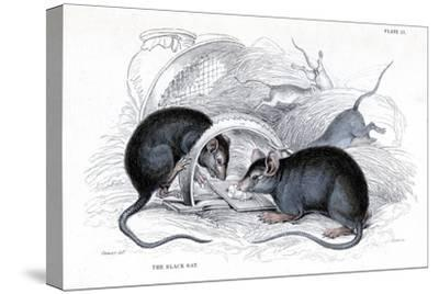Engraving of Black Rat Caught in Trap, 1838-William Jardine-Stretched Canvas Print