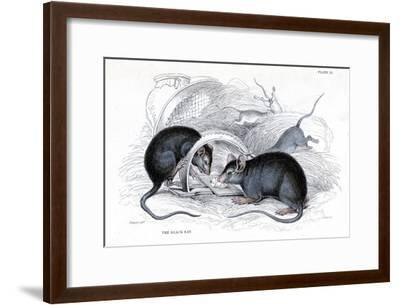 Engraving of Black Rat Caught in Trap, 1838-William Jardine-Framed Giclee Print