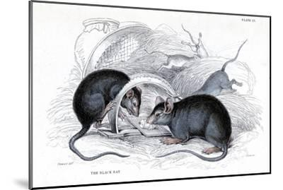 Engraving of Black Rat Caught in Trap, 1838-William Jardine-Mounted Giclee Print
