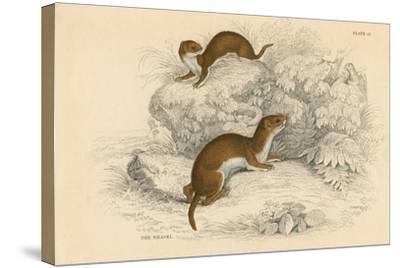 Weasel (Putorius Nivalis/Mustela Vulgari), the Smallest European Carnivore, 1828--Stretched Canvas Print