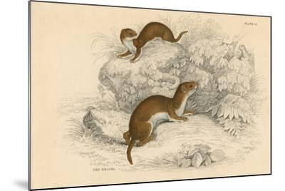 Weasel (Putorius Nivalis/Mustela Vulgari), the Smallest European Carnivore, 1828--Mounted Giclee Print