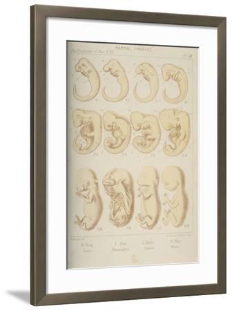Mammal Embryos, 1905-Ernst Heinrich Philipp August Haeckel-Framed Giclee Print