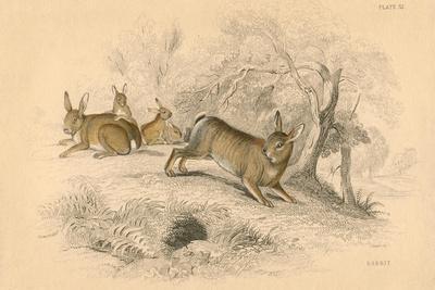 Rabbit (Oryctolagus Cuniculu), 1828--Framed Giclee Print