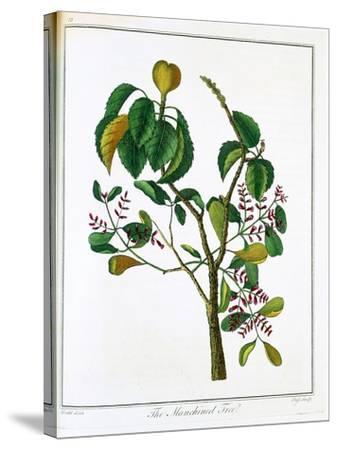 Manicheel Tree (Hippomane Mancinell) or Poison Guava, C1795--Stretched Canvas Print