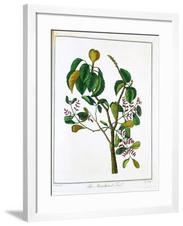 Manicheel Tree (Hippomane Mancinell) or Poison Guava, C1795--Framed Giclee Print