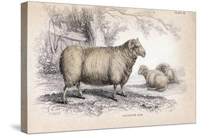Dishley (New Leiceste) Ram, C1840--Stretched Canvas Print