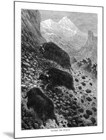 Hunting the Musk-Ox, 1877--Mounted Giclee Print