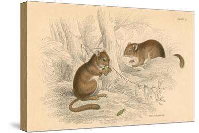 Common Dormouse (Muscardinus Arvellanariu), Hibernating Rodent, 1828--Stretched Canvas Print