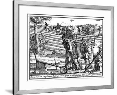 Yoking Oxen and Ploughing Fields, South Africa, 18th Century--Framed Giclee Print