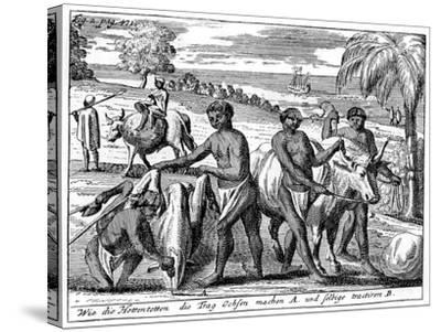 Khoikhois Breaking-In Oxen, South Africa, 18th Century--Stretched Canvas Print