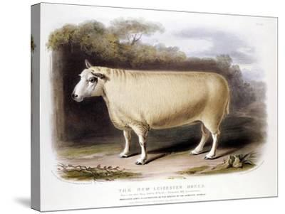 New Leicester (Dishle) Ram, 1842--Stretched Canvas Print