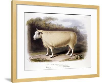 New Leicester (Dishle) Ram, 1842--Framed Giclee Print