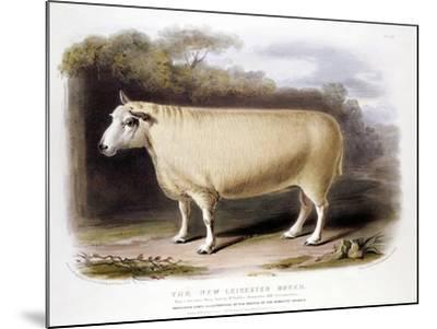 New Leicester (Dishle) Ram, 1842--Mounted Giclee Print