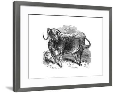 Lancashire Ox, Specimen of the Long Horned Breeds, 1848--Framed Giclee Print
