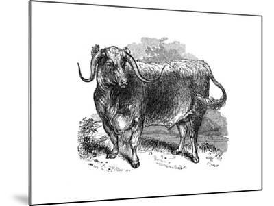 Lancashire Ox, Specimen of the Long Horned Breeds, 1848--Mounted Giclee Print