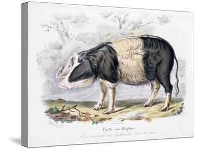 Old English Breed of Pig, 1842--Stretched Canvas Print