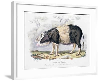 Old English Breed of Pig, 1842--Framed Giclee Print